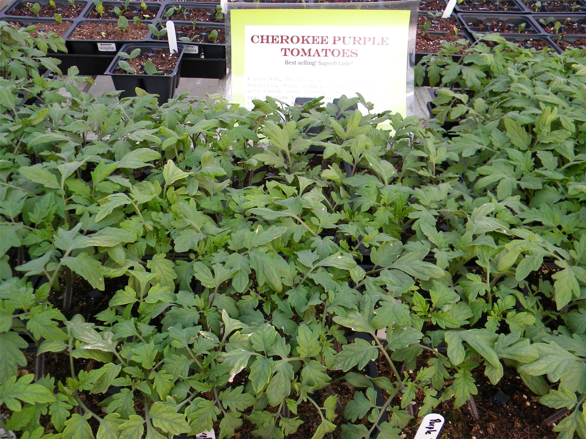 Cherokee Purple Tomato